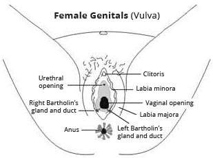 The female reproductive system womens health overview patient female genitals ccuart Gallery