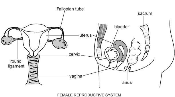 Female reproductive system diagram patient female reproductive system ccuart Choice Image