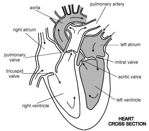 Heart cross section diagram patient heart cross section diagram ccuart Gallery