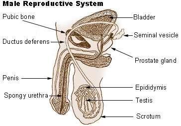 Male reproductive system diagram patient male reproductive system wiki ccuart Image collections
