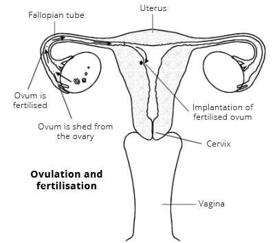 The female reproductive system womens health overview patient ovulation and fertilisation ccuart Images