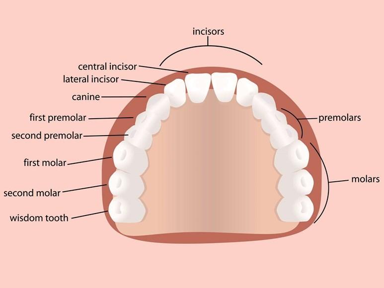 Wisdom Teeth | Health | Patient